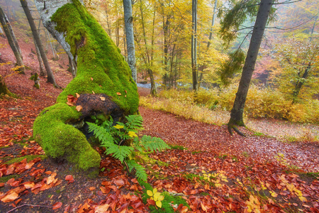 glades: High in the mountains of the Carpathians and the Hutsul located tract with ancient forest, where the ancient giants meet in the wild forest autumn, green mosses intertwined with red golden foliage