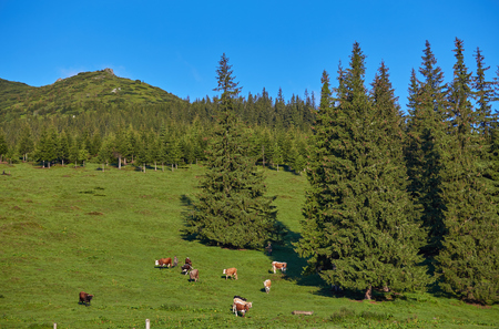 herd of cows grazing on mountain slopes Stock Photo