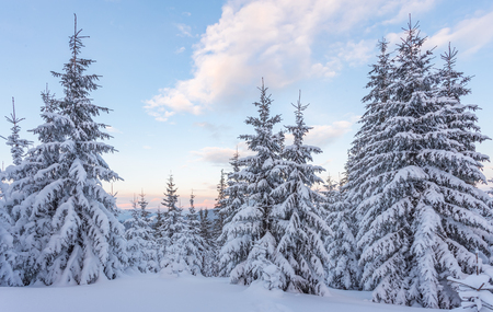 Spruce Tree Forest Covered by Snow in Winter Landscape