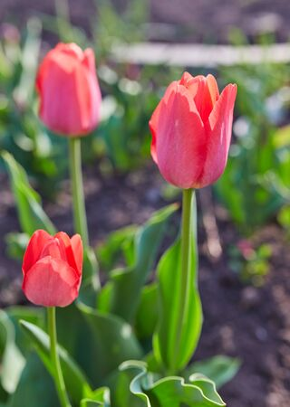 Gentle tulip flowers of red color in close up on blurred background.