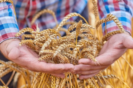 Male hand holding a golden wheat ear in the wheat field
