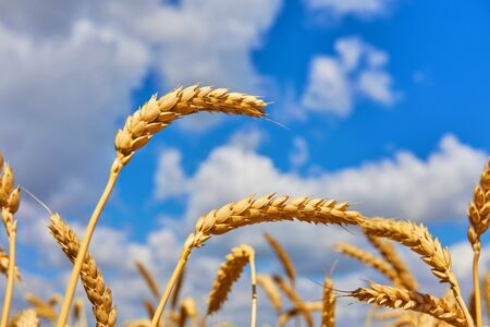 Close up photo of wheat field against blue sky.