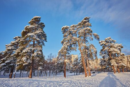 Winter day in a pine forest park. Stock Photo