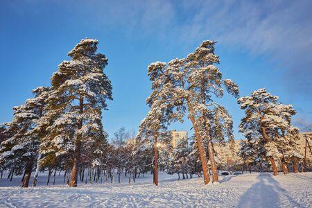 Winter day in a pine forest park. Standard-Bild