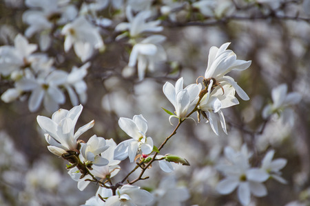 White big Magnolia in the background leaves