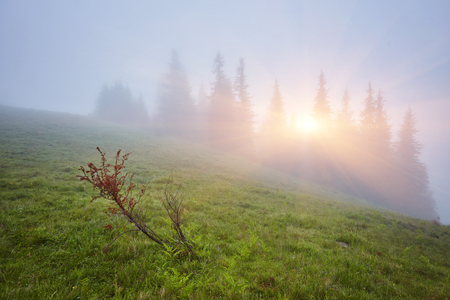 Forest mountain with the conifer trees in mist Stock Photo
