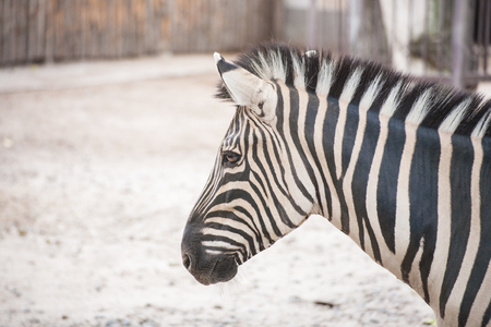 African zebra at the green park in Zoo Stock Photo