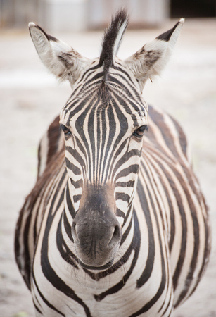 African zebra at the green park in Zoo Archivio Fotografico