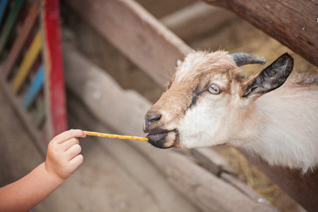 A billy goat eating out of the hand of a young girl.