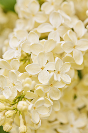 macro photo of white lilac flowers, shallow focus