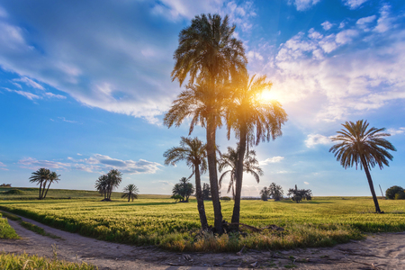 Palm trees with among golden ripe before. Larnaca, Cyprus.
