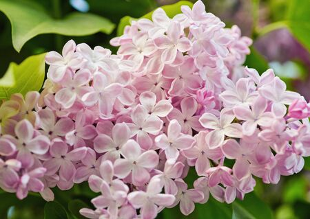 Macro image of spring lilac violet flowers, floral background