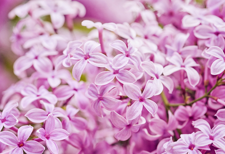 Fragrant lilac blossoms Syringa vulgaris . Shallow depth of field, selective focus Stock Photo