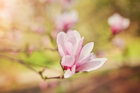 decoration of few magnolia flowers. pink magnolia flower. Magnolia. Magnolia flower