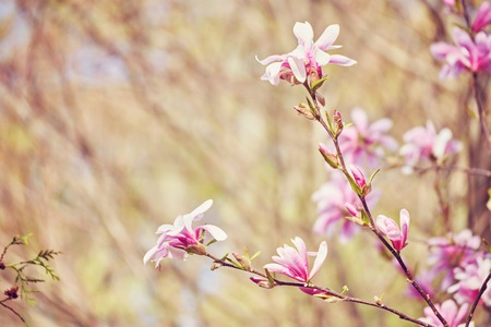 Flower Magnolia flowering against a background of flowers. Spring flower.