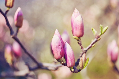 Macro of purple magnolia bud in botanical garden
