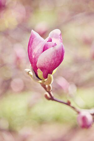 Decoration of few magnolia flowers pink magnolia flower magnolia decoration of few magnolia flowers pink magnolia flower magnolia magnolia flower stock photo mightylinksfo