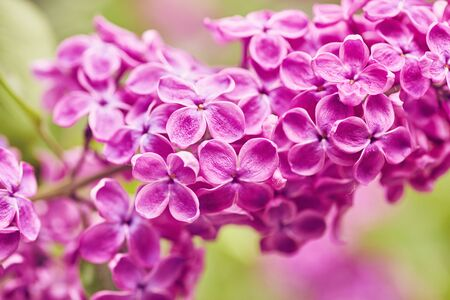 Spring flowers - blooming lilac flowers, spring background Stock Photo