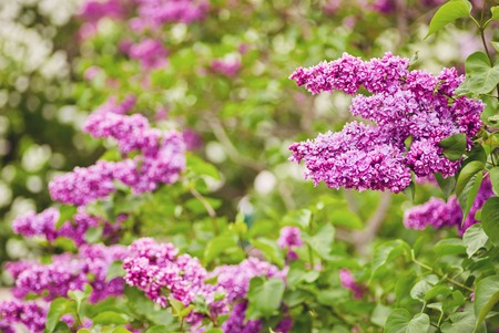 Lilac blooms. A beautiful bunch of lilac closeup. Green branch with spring flowers. Lilac flowers on tree in garden.