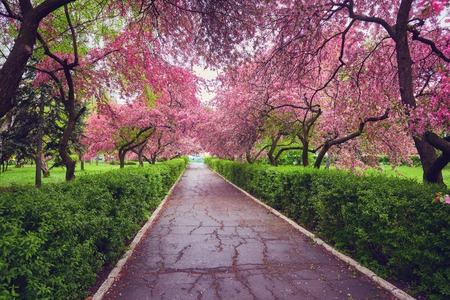 Park with alley of blossoming red apple trees. Spring landscape