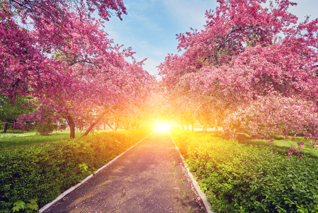 Parque con callejón de manzanos rojos en flor. Paisaje de primavera