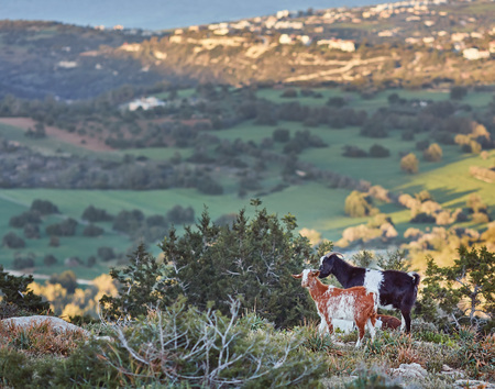 Goats grazing on the hills in the national park Akamas in Cyprus.