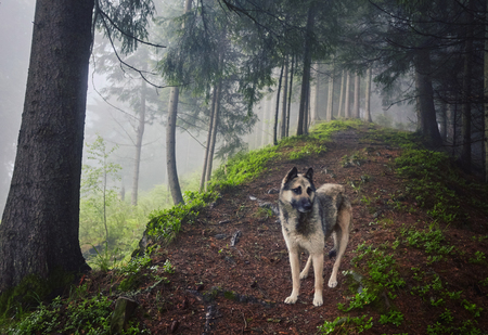 A hunting dog awaits its owner in a misty mountain forest