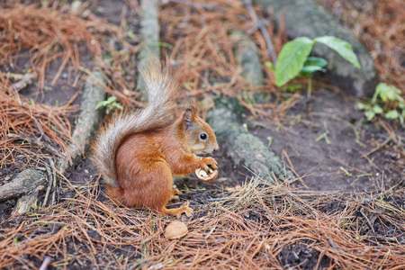 Red Squirrel, Sciurus vulgaris, in the forest eating a nut Stock Photo