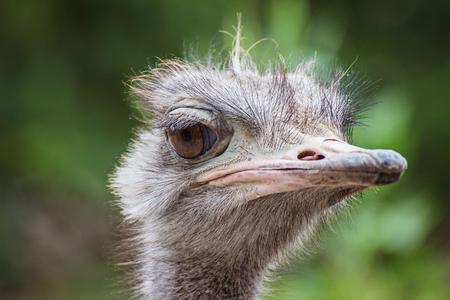 Close Up ostriches portrait. Ostrich in a farm paddockse