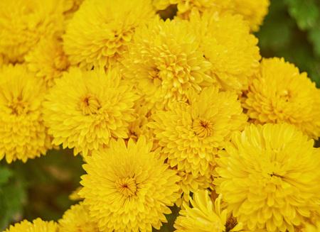 beautiful pale yellow chrysanthemum flower background horizontal
