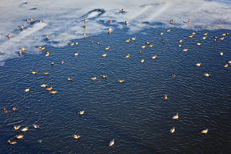 Ducks on ice frozen river. Winter landscape Stock Photo