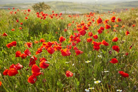 Closeup bright red poppies with blurry poppies in the background at Hierapolis in Turkey, Summer and spring concept