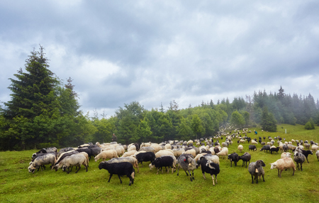 a flock of sheep in a mountain valley Archivio Fotografico