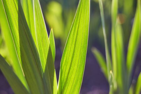 Green grass natural background texture, Lawn for the background