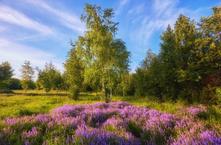 purple flowers on a meadow and sunset. summer rural landscape with a blossoming meadow, road and a farm. spring wild flowers on a field. flowering field wildflowers and farmhouse on sunrise.