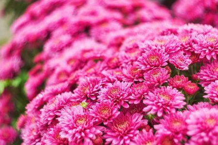 Autumn varicoloured chrysanthemum flower bad striped background 版權商用圖片