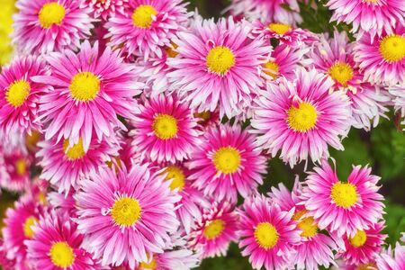 Autumn varicoloured chrysanthemum flower bad striped background Banque d'images