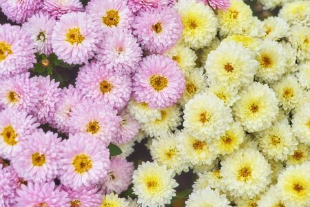 Autumn varicoloured chrysanthemum flower bad striped background 版權商用圖片 - 131365662