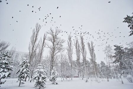 A flock of birds flies over the winter park, winter cloudy weather. Stok Fotoğraf