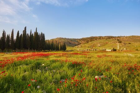 Amazing red poppies with green field in Pamukkale, Denizli Stock Photo