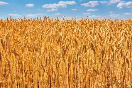 Espigas doradas de trigo en el campo. imagen natural Foto de archivo