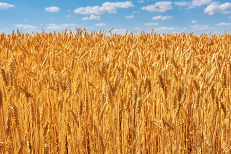 Golden ears of wheat in the field. natural picture Stock fotó