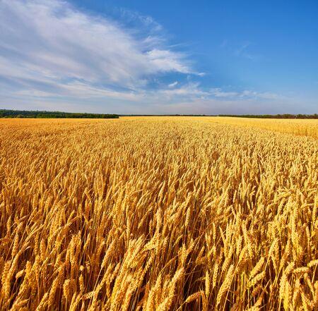 Veld van gouden tarwe onder de blauwe lucht en de wolken Stockfoto