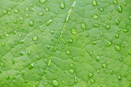 drop of water on a green leaves in a garden , Natural background, fresh green leaf texture and water drops