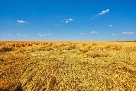 Wheat harvest destroyed by a thunderstorm. Morning summer landscape 版權商用圖片