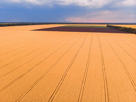 Aerial view of summer wheat field crops for harvest and blue sky with fluffy white clouds on farm