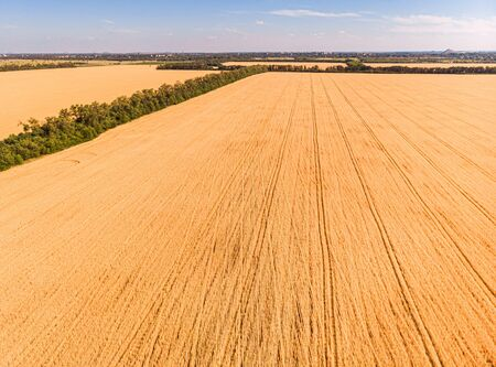 Aerial view of ripening wheat crop fields on farm under blue sky and white clouds on farm Фото со стока