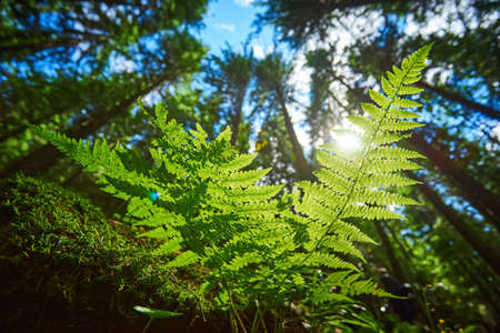 A detailed shot of a beautiful fern leaf illuminated by sunbeams. Bright spring sunbeams shine through the green leaves of ferns in the depths of a picturesque pine forest in the mountains. Zdjęcie Seryjne