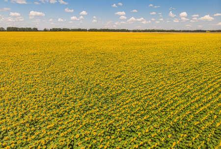 Field of sunflowers. Aerial view of agricultural fields flowering oilseed. Top view. 版權商用圖片