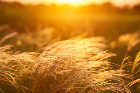 Close up silhouette tropical grass flower or setaceum pennisetum fountain grass on sunset background.